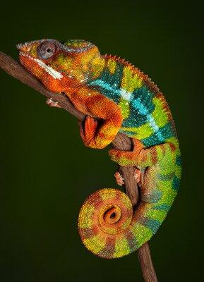 Nálepka Panther Chameleon v klidu