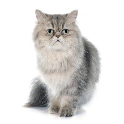 Nálepka Perská kočka