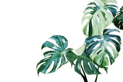 Nálepka Pestrobarevné listy monstera, split list filodendron rostlin izolovaných na bílém pozadí