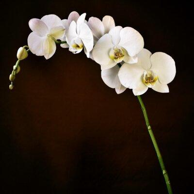 Nálepka Phalaenopsis orchidej aphrodite