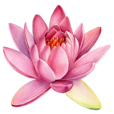 Nálepka Pink lotus flower on an isolated white background, watercolor clipart, water lily