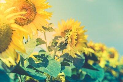 Nálepka Pohled slunečnice pole
