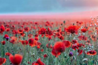 Nálepka Pole červené máky na západ slunce