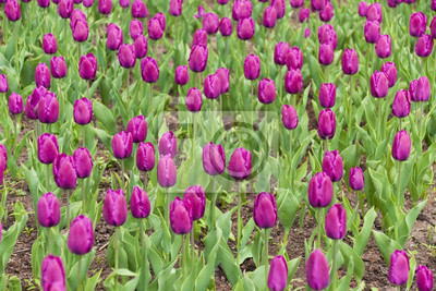 Pole fialové tulipány