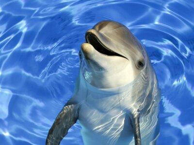 Nálepka Portrait d'un dauphin commun