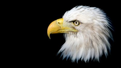 Nálepka Portrét americký orel bělohlavý na černém pozadí s prostorem pro text