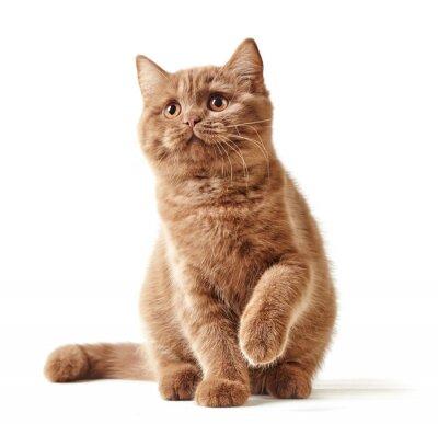 Nálepka portrét britské kotě