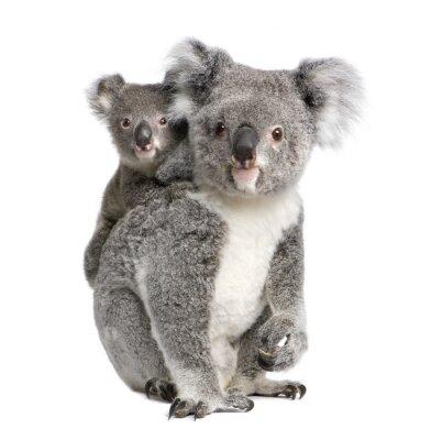 Nálepka Portrét Koala medvědi, v přední části bílém pozadí