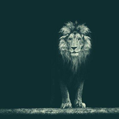 Nálepka Portrét krásné lev, lev ve tmě