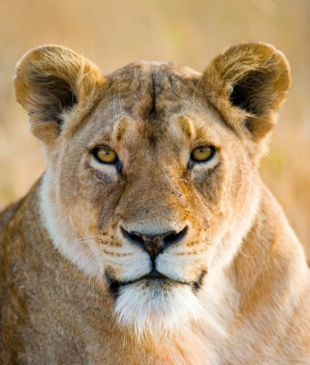 Nálepka Portrét lvice. Close-up. Keňa. Tanzanie. Masai Mara. Serengeti. Vynikající ukázkou.