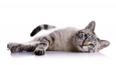 Nálepka Pruhované blue-eyed kočka leží na bílém pozadí.