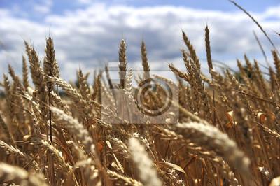 Nálepka pšeničné pole