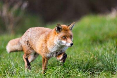 Nálepka Red Fox
