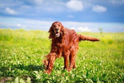Nálepka Red irish setter dog