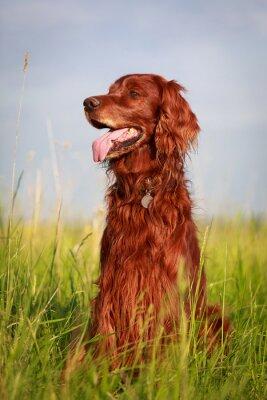 Nálepka Red Irský setr pes