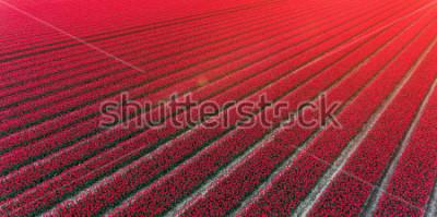 Nálepka Red tulip field Netherlands