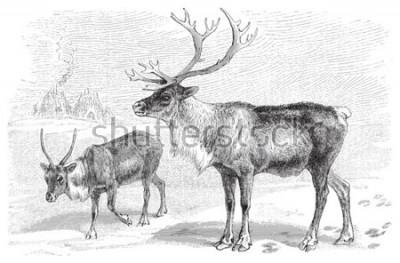 Nálepka Reindeer (Rangifer tarandus) / vintage illustration from Meyers Konversations-Lexikon 1897