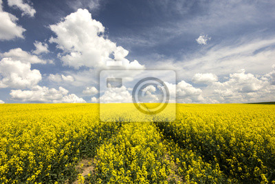 Řepkové pole