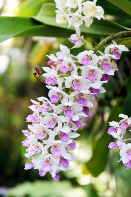 Nálepka Rhynchostylis orchidej.