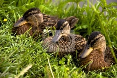 Rodina kachňata na zelené trávě