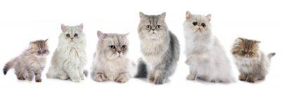 Nálepka Rodina perské kočky