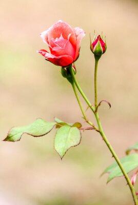 Nálepka růže Champetre