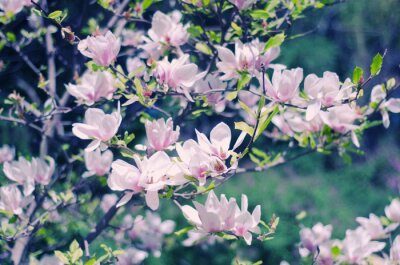 Nálepka Růžová magnólie květiny jsou nádherné květinové jaře pozadí (mělký DOF, retro styl)