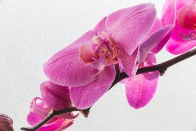 Nálepka Růžová orchidej / květ izolovaných na bílém pozadí