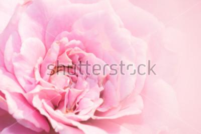 Nálepka Růžová růže květ na růžovém pozadí s malou hloubkou ostrosti a zaměření centra růže květ. Krásné růžové růže v zahradě. růžové růže makro.