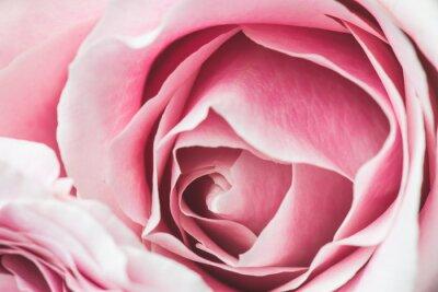 Nálepka Růžová růže květ s malou hloubkou ostrosti a zaměřit se na střed květu růže