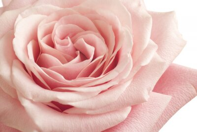Nálepka růžové růže detailní