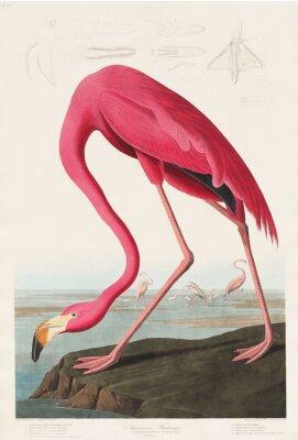 Nálepka Růžový plameňák z Birds of America (1827) od Johna Jamese Audubona (1785 - 1851), leptal Robert Havell (1793 - 1878)