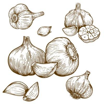 Nálepka rytí ilustrace česneku