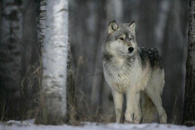 Nálepka Šedý vlk, Canis lupus