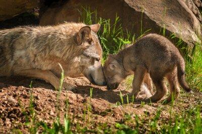Nálepka Šedý vlk (Canis lupus) Matka a Pup dotykové Mimo Den