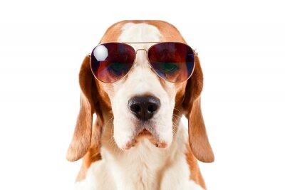 Nálepka sentry dog in sunglasses  on white