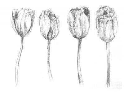 Nálepka Set of hand drawn tulips. Sketch, flower, illustration