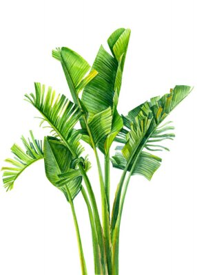 Nálepka set of jungle leaves, strelitzia on an isolated white background, botanical illustration, watercolor tropical plants