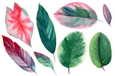 Nálepka set of leaves on isolated white background, watercolor illustration, pink and green leaves of tropical plants, rose-painted calathea, Caladium Plants