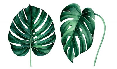 Nálepka Set of tropical monstera leaves isolated on white. Watercolor illustration.