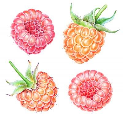 Nálepka Set of watercolor raspberries on white background