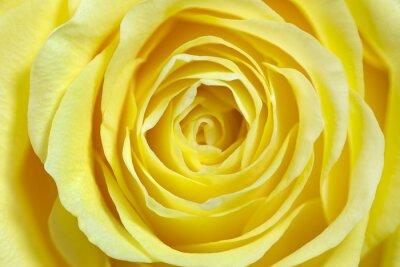 Nálepka Single žluté růže, full frame