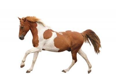 Nálepka Skewbald pony cvalu na bílém