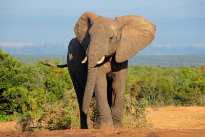 Nálepka Slon africký, Addo Elephant National Park