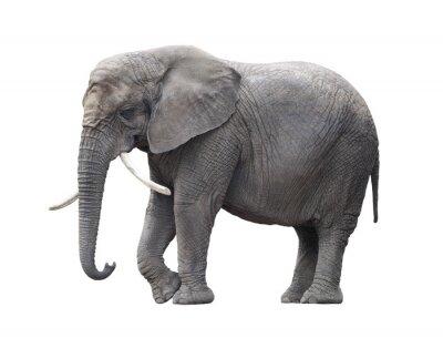Nálepka Slon africký izolovaných na bílém s ořezovou cestou