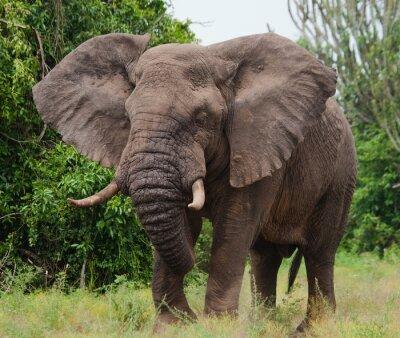 Nálepka Slon v savaně. Střelba z horkovzdušného balónu. Afrika. Keňa. Tanzanie. Serengeti. Masai Mara. Vynikající ukázkou.