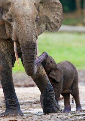 Nálepka Sloní samice s dítětem. Středoafrická republika. Republika Kongo. Dzanga-Sangha Special Reserve. Vynikající ukázkou.
