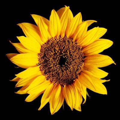 Nálepka slunečnice izolované
