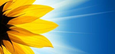 Nálepka Slunečnice květ slunce na modré obloze na pozadí