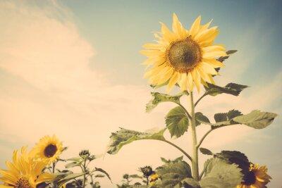 Nálepka slunečnice květina pole modrá obloha vinobraní retro